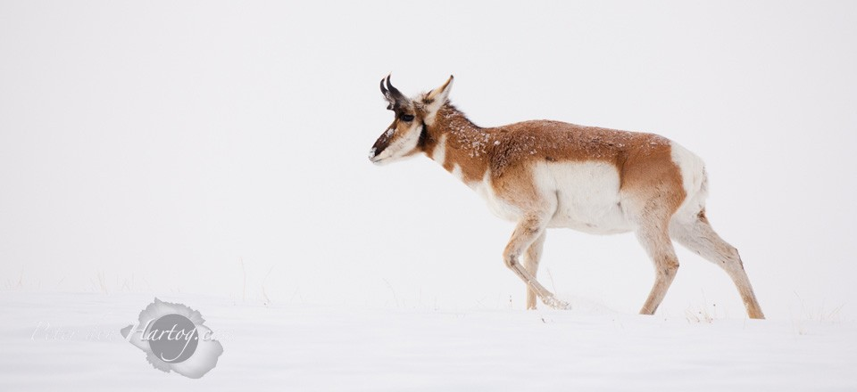 Pronghorn slide