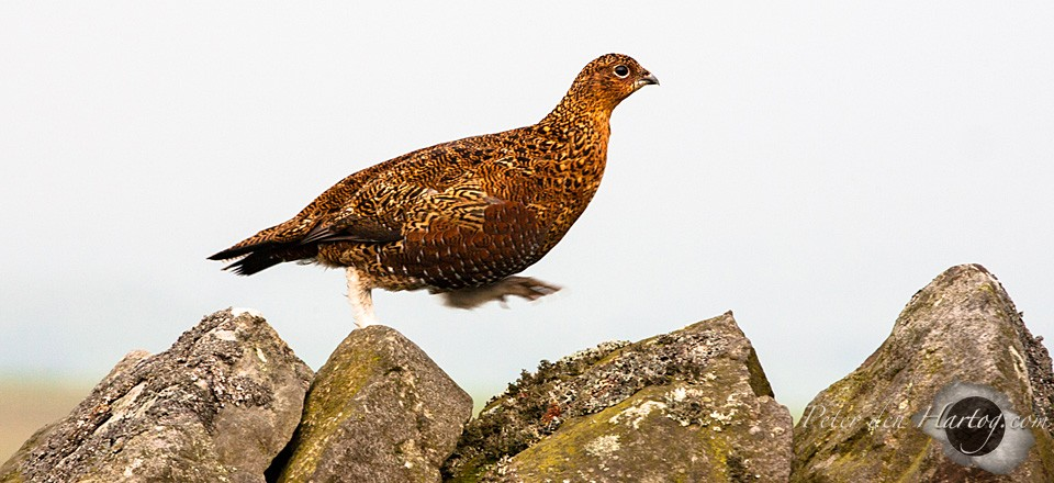 Red Grouse slide