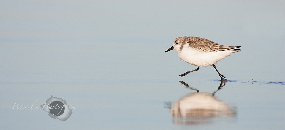 Sanderling slide